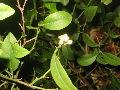 マナオの花
